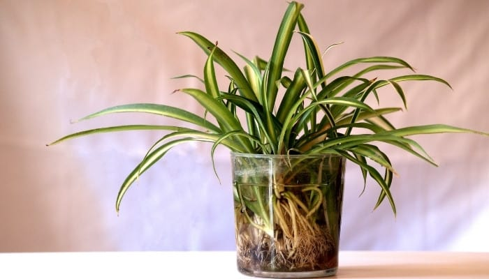Several cuttings from a houseplant rooting in a large container of water.