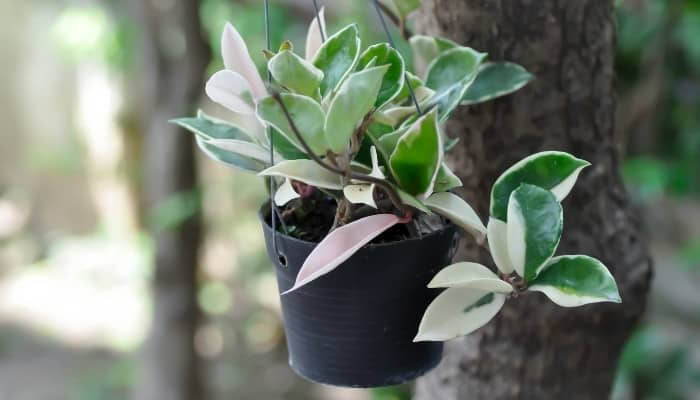 A potted Hoya carnosa variegata hanging from a tree outdoors.