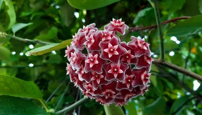 A Hoya pubicalyx plant with a large pink flower cluster.