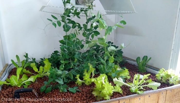 Indoor Aquaponic Grow Bed with LED Lights