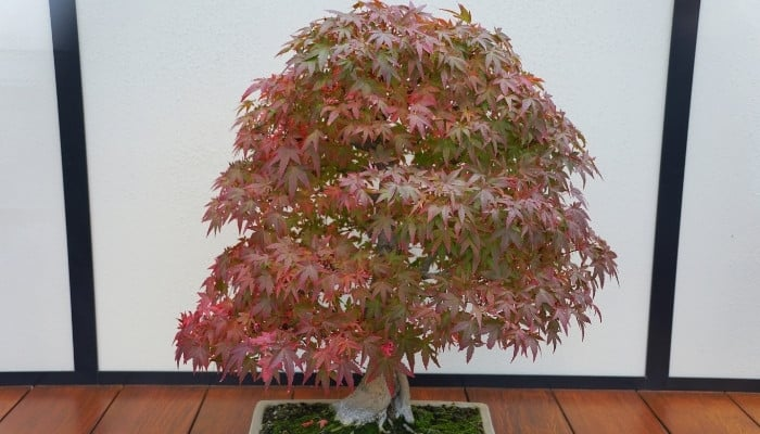 A beautiful Japanese maple bonsai tree sitting indoors showing the beginnings of fall foliage colors.