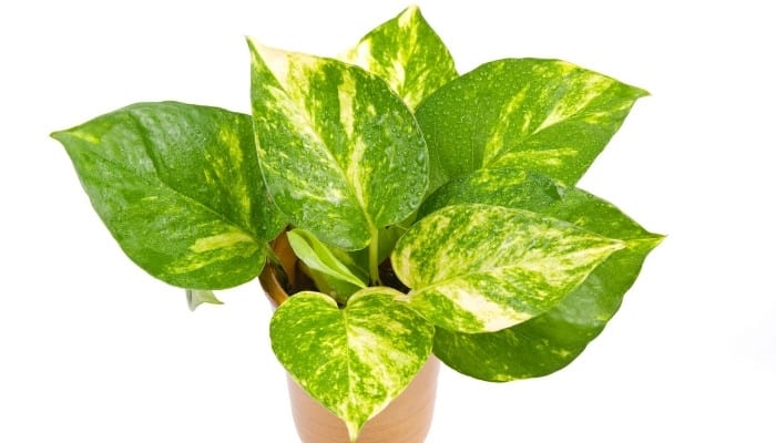 A jessenia pothos plant in a brown pot isolated on a white background.