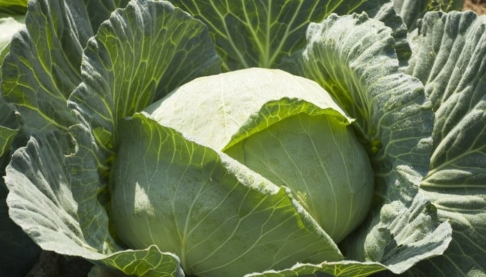 A large head of cabbage ready to harvest in a garden.