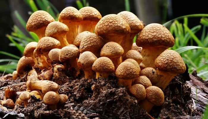 A grouping of laughing Jim mushrooms growing in the forest.