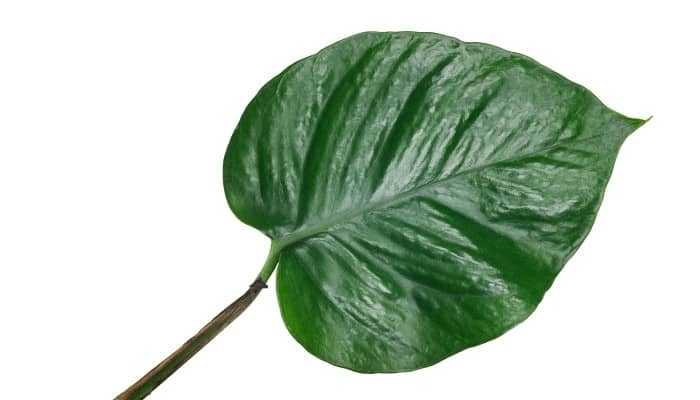 A single leaf of a jade pothos plant on a white background.