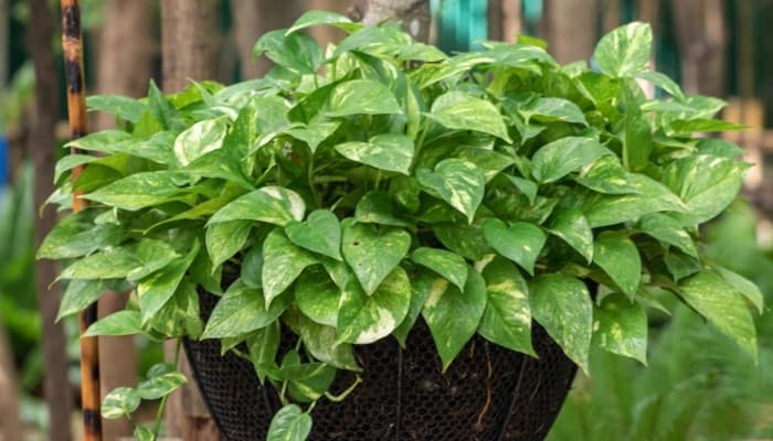 A very lush pothos plant in a basket-type pot enjoying being outside.