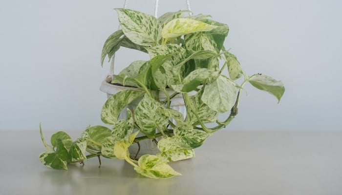 A marble queen pothos in a white hanging basket with a gray wall in the background.