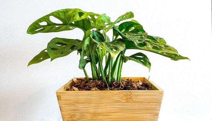 The rare Monstera obliqua plant in a square wooden pot.
