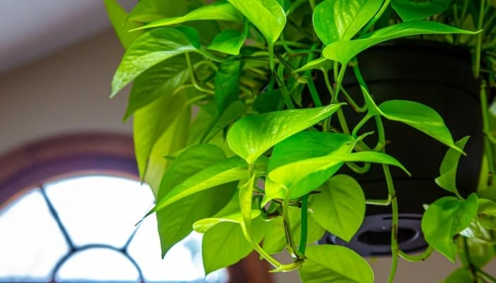A neon pothos in a hanging basket in front of half-moon window.