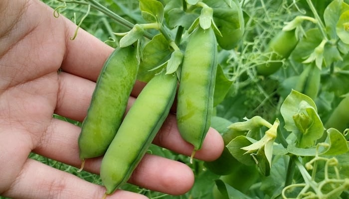 A hand showing several ripe pea pods growing on the plant.