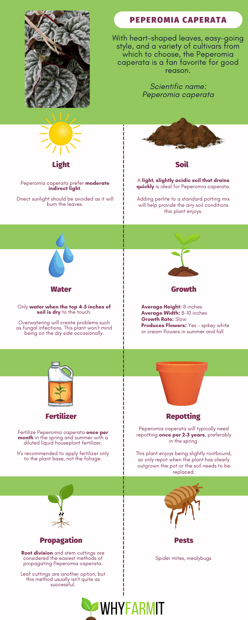 Graphic outlining care of Peperomia caperata