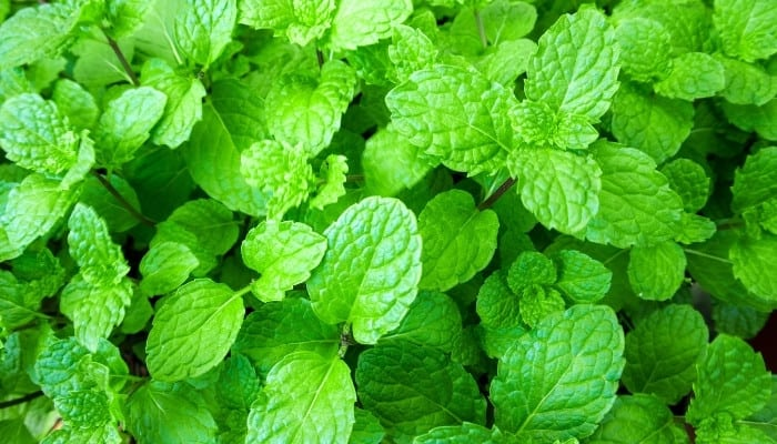 A healthy peppermint plant viewed from above.