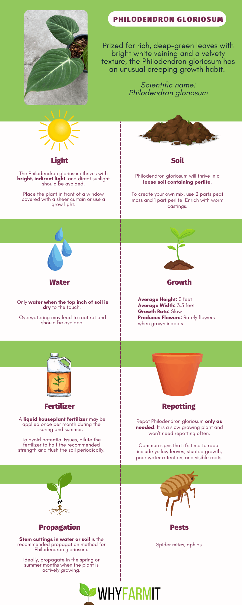Graphic outlining care of Philodendron gloriosum