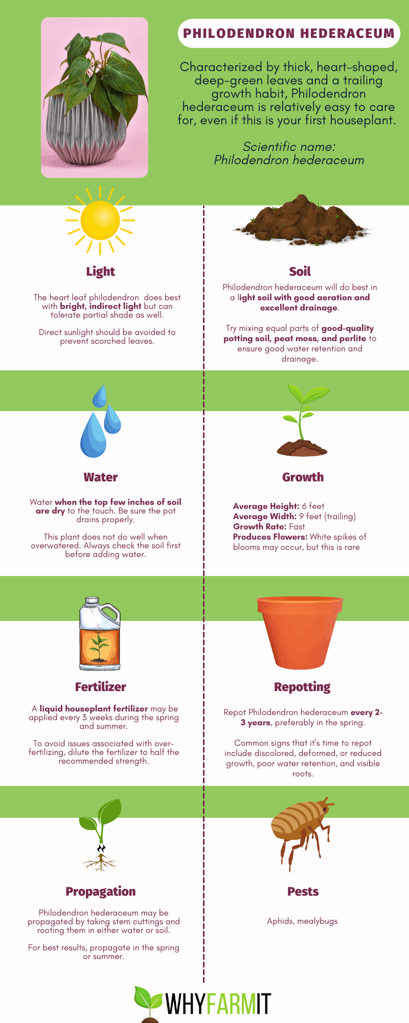 Graphic outlining care of Philodendron hederaceum