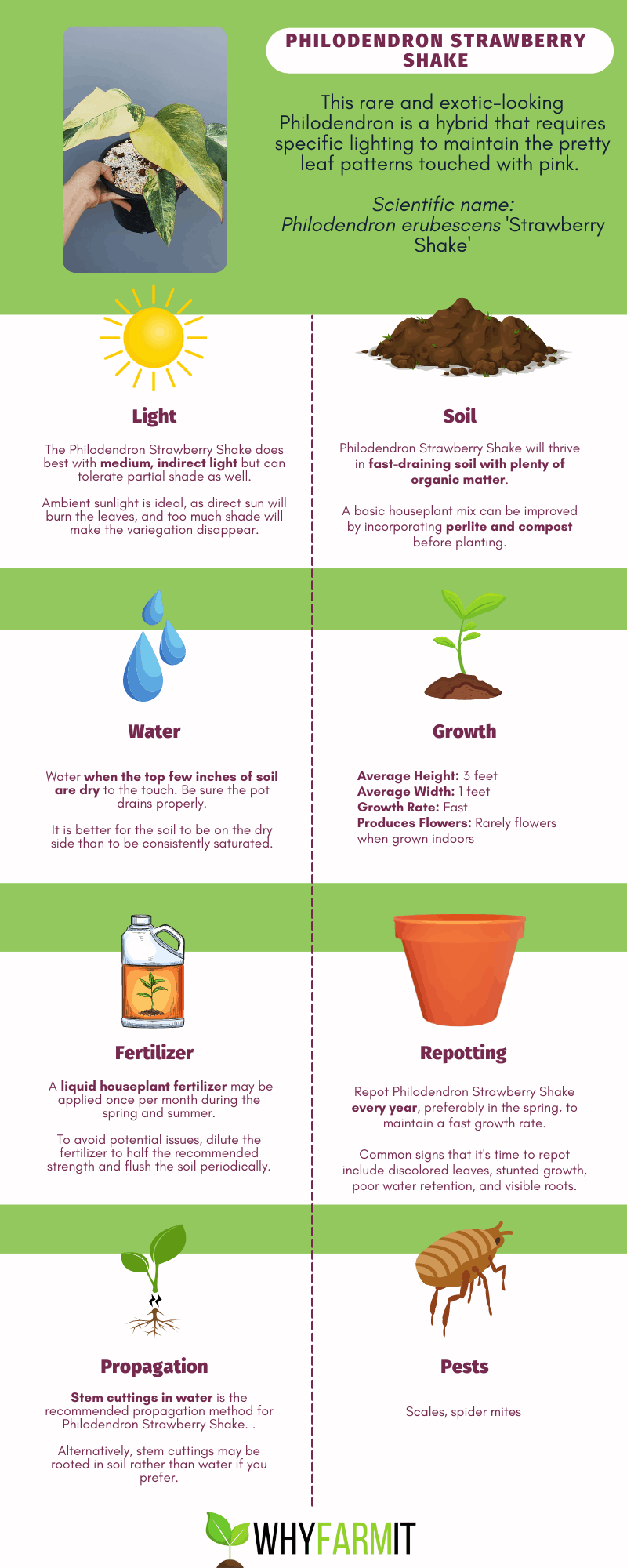 Graphic outlining care of Philodendron Strawberry Shake