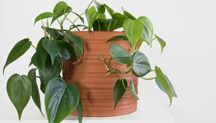 A Philodendron hederaceum in a terra cotta pot against a light gray background.