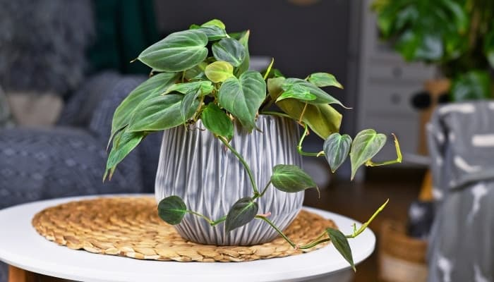 A potted Philodendron hederaceum placed on a small, white, round table.