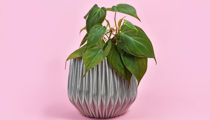 A Philodendron hederaceum plant in a geometric pot against a pink background.
