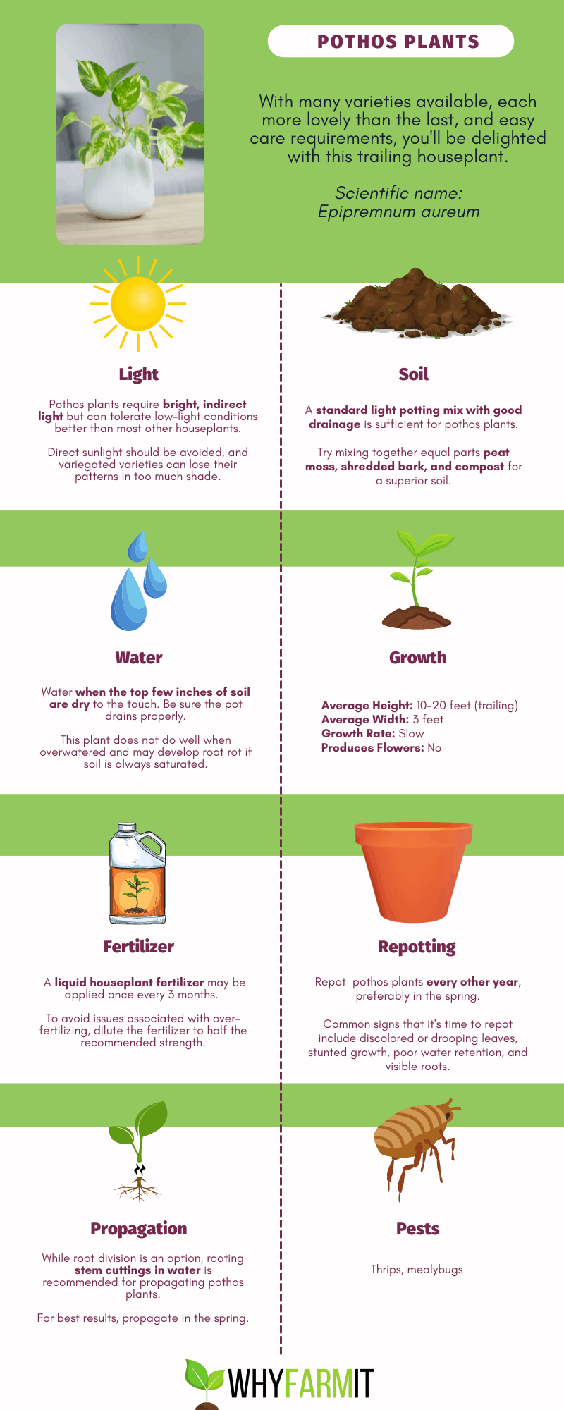 Graphic outlining care of pothos plants