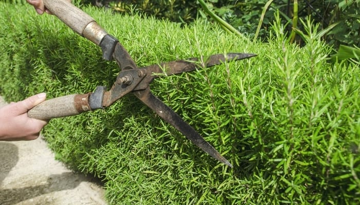 A woman using pruning clippers to cut back a rosemary plant.