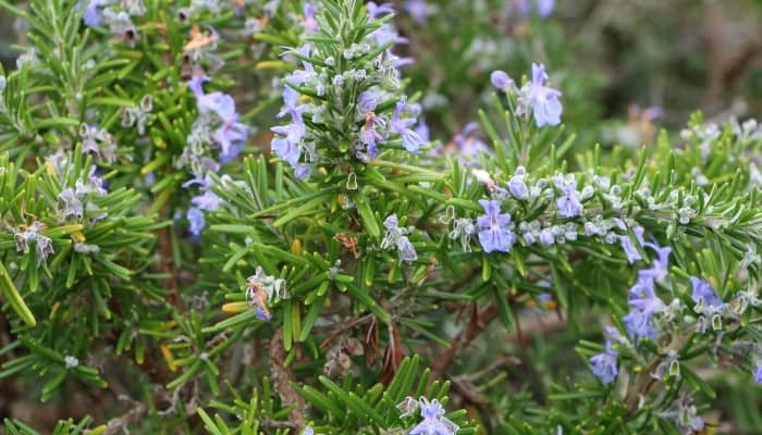 A rosemary plant covered with small purple flowers.