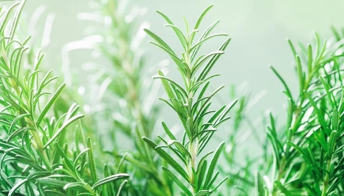 Rosemary sprigs in the garden surrounded by a thick fog.