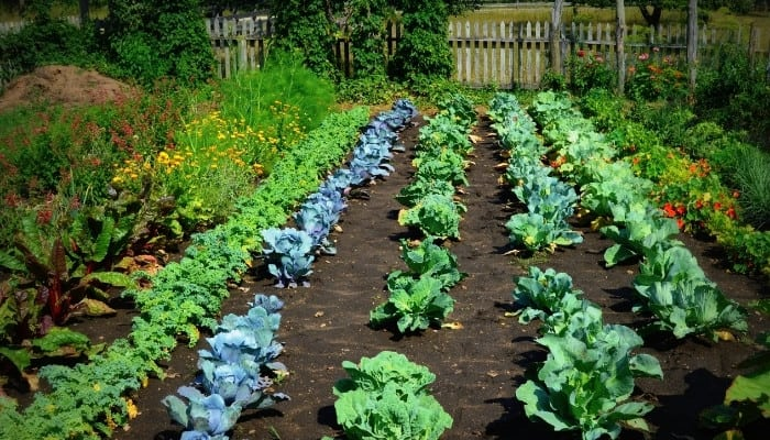 Neat rows of various vegetables in a backyard garden.