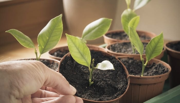 Seven little lemon tree cuttings planted in small pots for rooting.