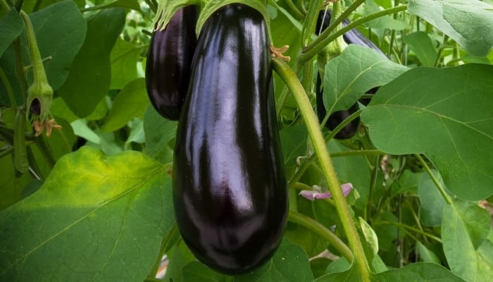 Several large eggplants ready to harvest from plant.