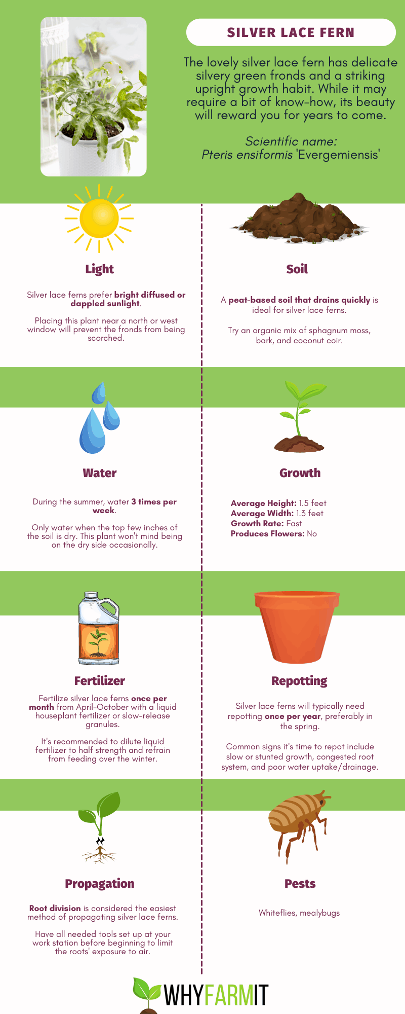 Graphic outlining care for silver lace fern