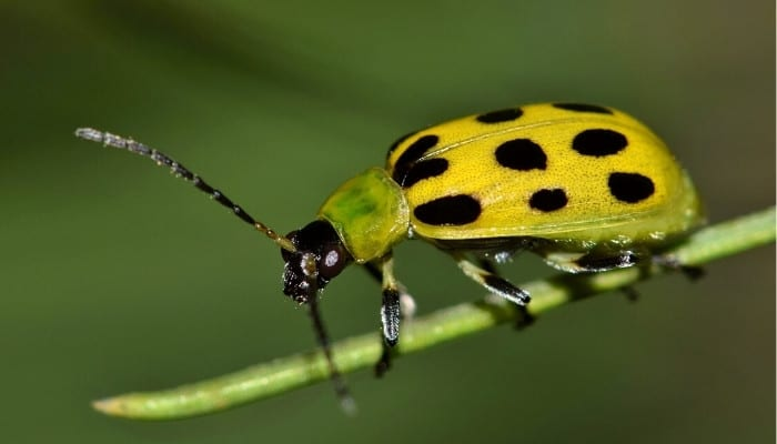 A yellow spotted cucumber beetle on the end of a slender stem.