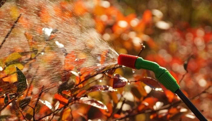 Red-leafed plants being sprayed with a fine mist from a hose attachment sprayer.