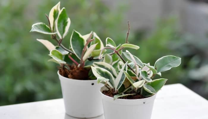 Two Hoya carnosa variegata plants in white pots sitting outdoors on a table.