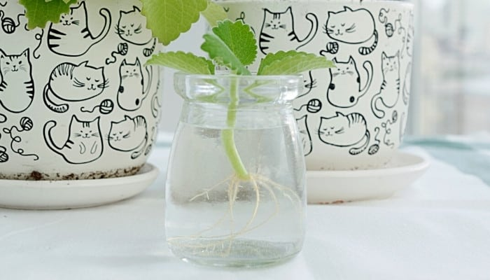 Two flower pots featuring cat outlines sitting behind a jar of water with a mint plant growing inside.