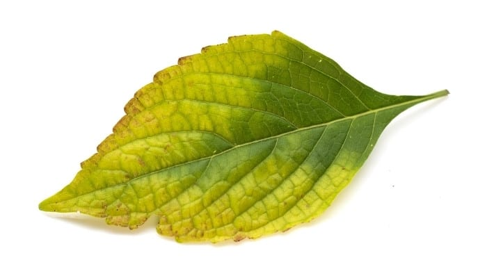 A yellowing basil leaf with edges turning brown against a white background.