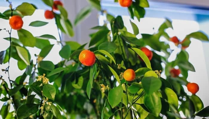A citrus tree growing and producing fruit indoors.