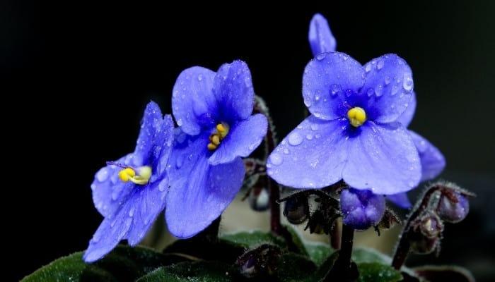 Blue flowers of an African violet set against a black background.