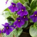 A healthy African violet plant with pretty purple blooms.