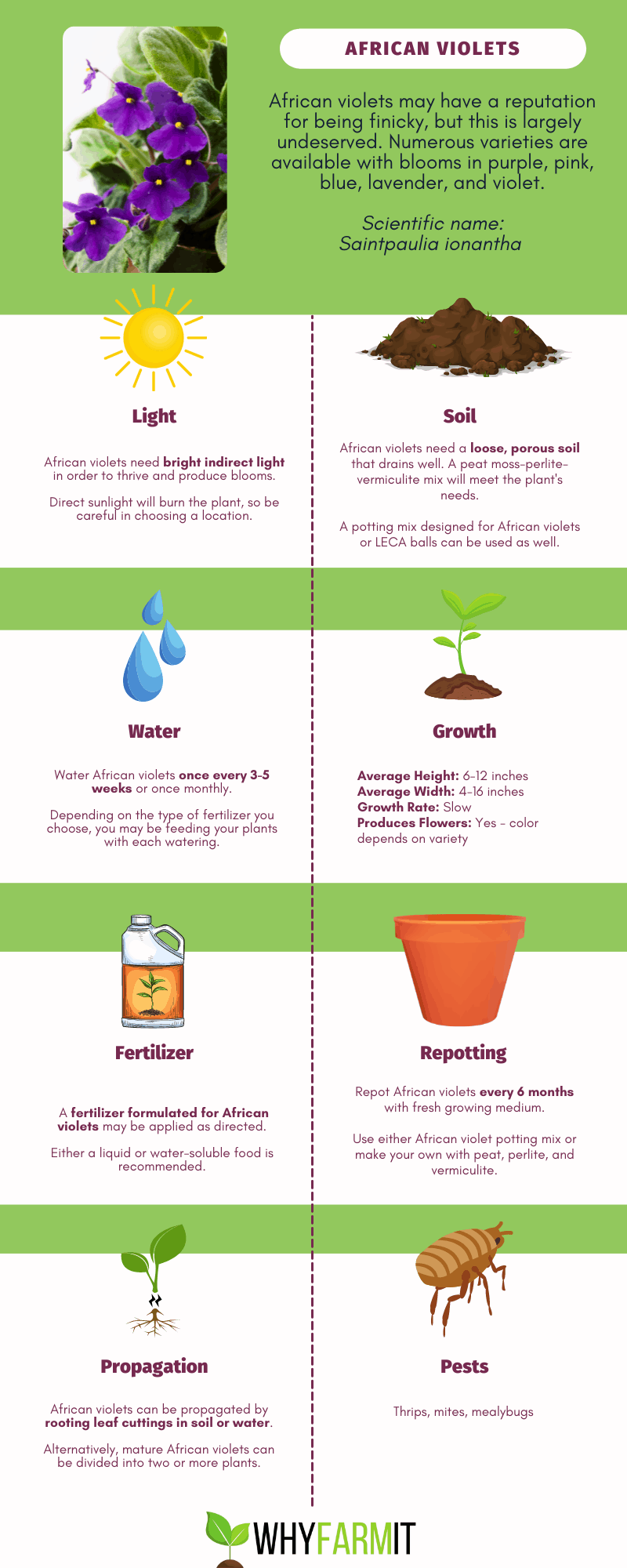 Graphic outlining care for African violets.
