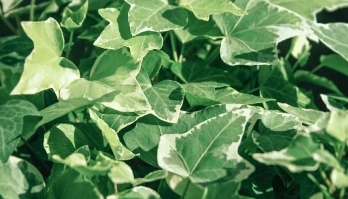 Close-up look at Algerian ivy leaves.