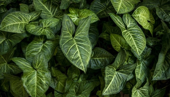 The deep-green, lush leaves of the Alocasia 'Jewel' plant.