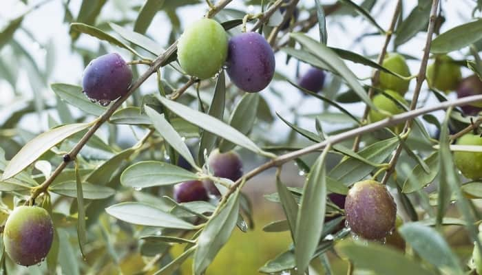 Amfissa olives in various stages of ripening on the tree.