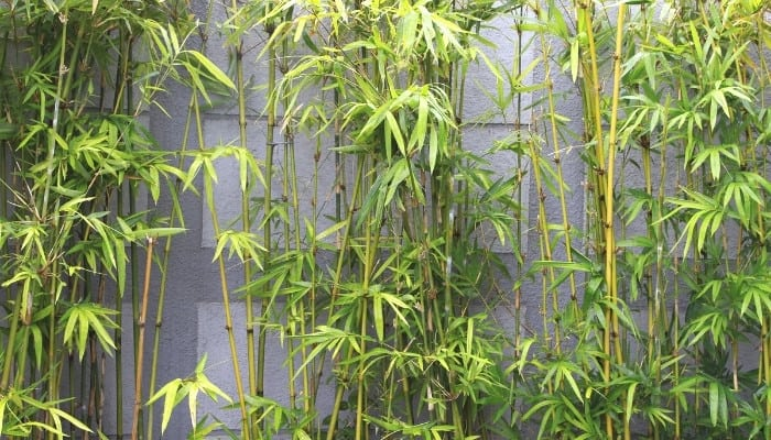 Bamboo plants growing outside in front of a gray, solid wall.