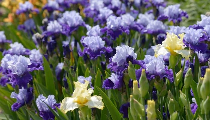 Purple-and-white and yellow bearded iris flowers blooming.