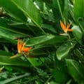 A large bird of paradise plant sporting three showy flowers.