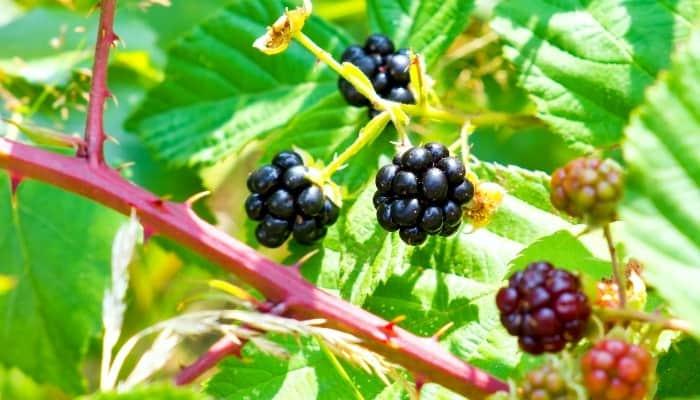 Both ripe and unripe blackberries on a bush.