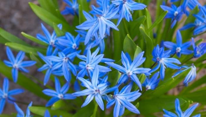 Bright blue flowers of the Scilla bifolia plant.