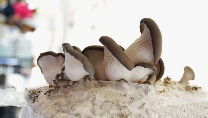 Blue oyster mushrooms growing indoors awaiting harvest.