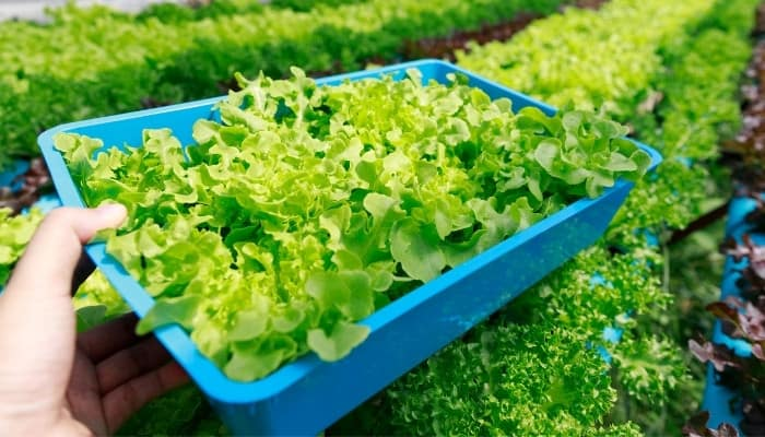 A lady lifting a blue tray of lettuce from a large hydroponic system.