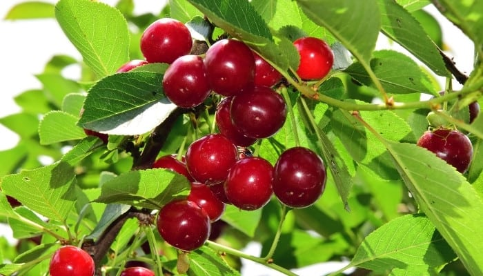 Cherries ripening on a healthy tree.